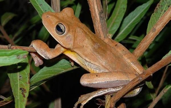 Древесная-лягушка-Описание-особенности-виды-образ-жизни-и-среда-обитания-древесных-лягушек-11