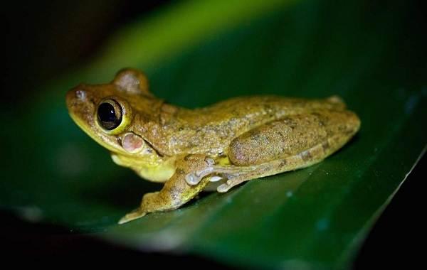 Древесная-лягушка-Описание-особенности-виды-образ-жизни-и-среда-обитания-древесных-лягушек-12