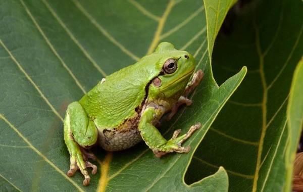 Древесная-лягушка-Описание-особенности-виды-образ-жизни-и-среда-обитания-древесных-лягушек-14
