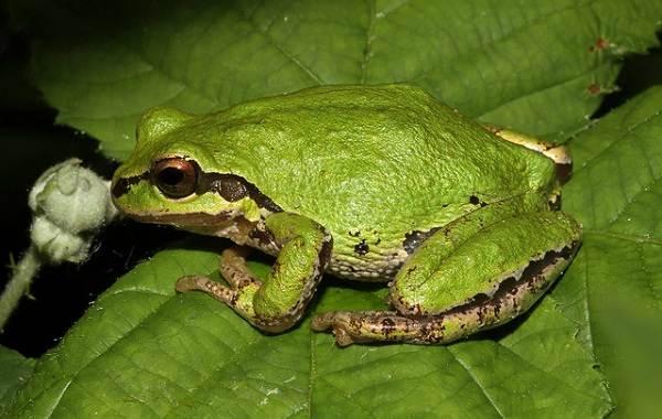Древесная-лягушка-Описание-особенности-виды-образ-жизни-и-среда-обитания-древесных-лягушек-15