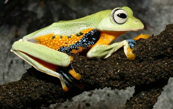 Древесная-лягушка-Описание-особенности-виды-образ-жизни-и-среда-обитания-древесных-лягушек-18