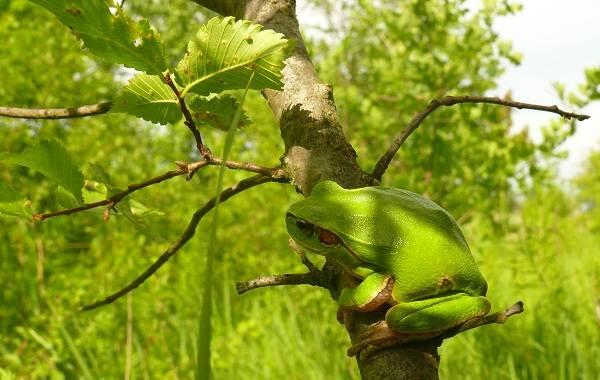 Древесная-лягушка-Описание-особенности-виды-образ-жизни-и-среда-обитания-древесных-лягушек-19