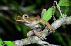 Древесная лягушка. Описание, особенности, виды, образ жизни и среда обитания древесных лягушек