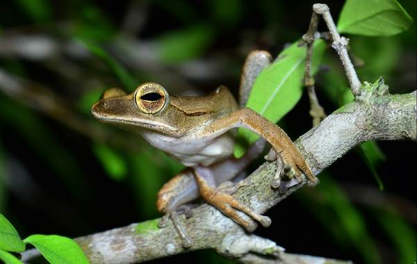Древесная-лягушка-Описание-особенности-виды-образ-жизни-и-среда-обитания-древесных-лягушек-2