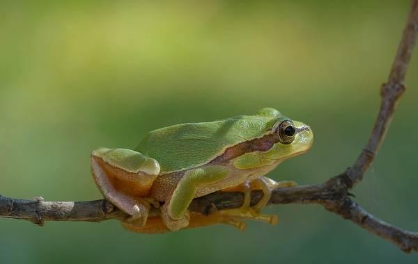 Древесная-лягушка-Описание-особенности-виды-образ-жизни-и-среда-обитания-древесных-лягушек-21