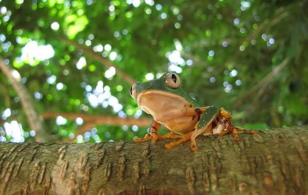 Древесная-лягушка-Описание-особенности-виды-образ-жизни-и-среда-обитания-древесных-лягушек-22