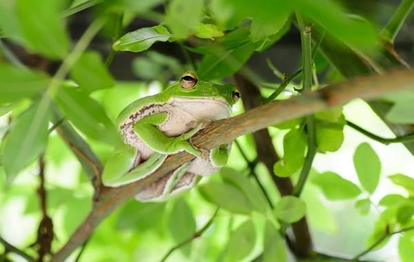 Древесная-лягушка-Описание-особенности-виды-образ-жизни-и-среда-обитания-древесных-лягушек-23