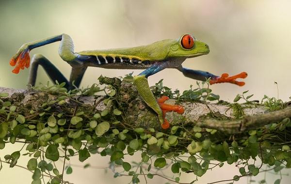 Древесная-лягушка-Описание-особенности-виды-образ-жизни-и-среда-обитания-древесных-лягушек-25
