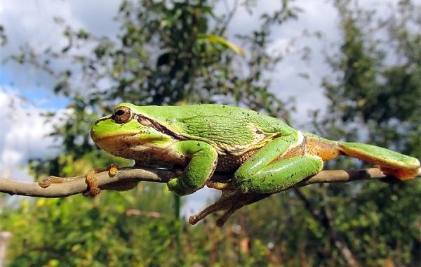 Древесная-лягушка-Описание-особенности-виды-образ-жизни-и-среда-обитания-древесных-лягушек-27