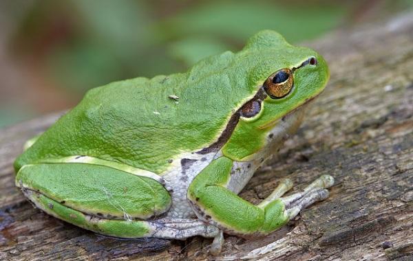 Древесная-лягушка-Описание-особенности-виды-образ-жизни-и-среда-обитания-древесных-лягушек-28