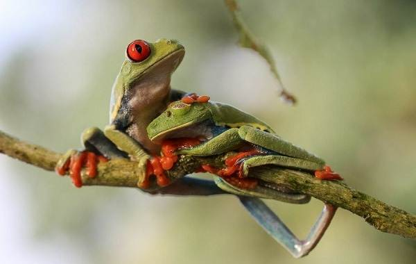 Древесная-лягушка-Описание-особенности-виды-образ-жизни-и-среда-обитания-древесных-лягушек-3