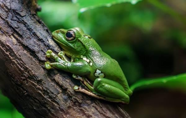 Древесная-лягушка-Описание-особенности-виды-образ-жизни-и-среда-обитания-древесных-лягушек-4