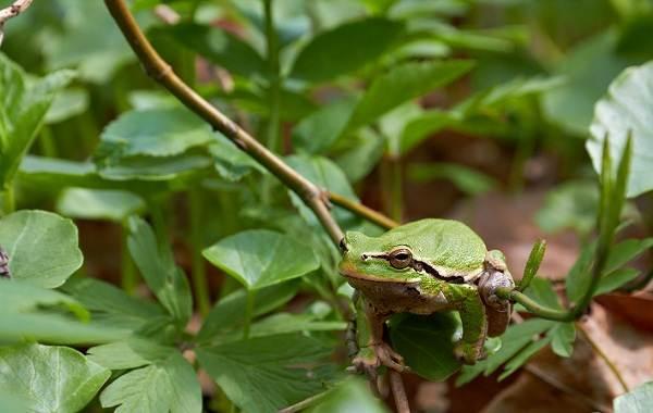 Древесная-лягушка-Описание-особенности-виды-образ-жизни-и-среда-обитания-древесных-лягушек-6