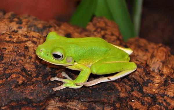 Древесная-лягушка-Описание-особенности-виды-образ-жизни-и-среда-обитания-древесных-лягушек-7