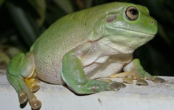 Древесная-лягушка-Описание-особенности-виды-образ-жизни-и-среда-обитания-древесных-лягушек-8