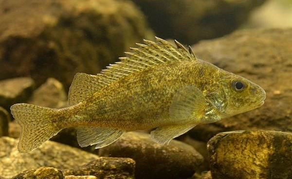 Ерш-рыба-Описание-особенности-виды-образ-жизни-и-среда-обитания-ершей-1