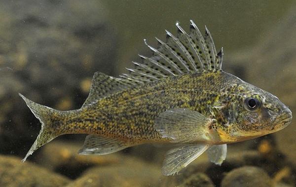 Ерш-рыба-Описание-особенности-виды-образ-жизни-и-среда-обитания-ершей-10