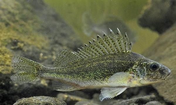 Ерш-рыба-Описание-особенности-виды-образ-жизни-и-среда-обитания-ершей-2