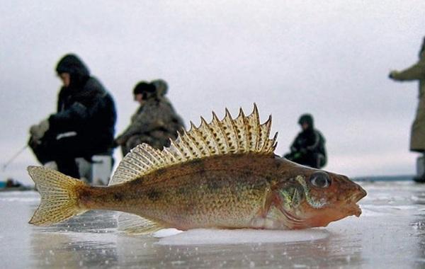 Ерш-рыба-Описание-особенности-виды-образ-жизни-и-среда-обитания-ершей-3-2