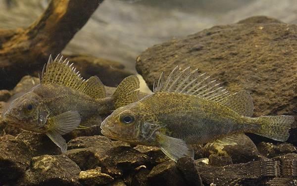 Ерш-рыба-Описание-особенности-виды-образ-жизни-и-среда-обитания-ершей-3