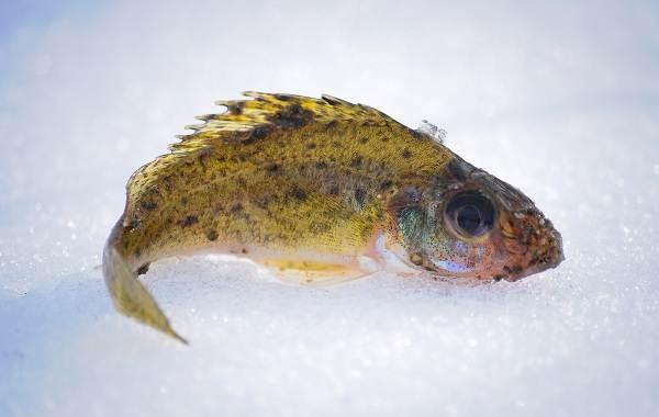 Ерш-рыба-Описание-особенности-виды-образ-жизни-и-среда-обитания-ершей-6