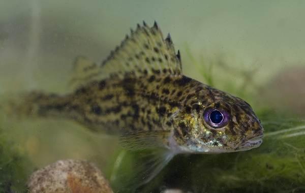 Ерш-рыба-Описание-особенности-виды-образ-жизни-и-среда-обитания-ершей-7