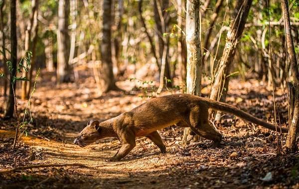 Фосса-животное-Описание-особенности-виды-образ-жизни-и-среда-обитания-фоссы-10