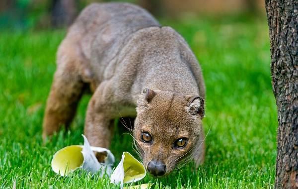 Фосса-животное-Описание-особенности-виды-образ-жизни-и-среда-обитания-фоссы-13