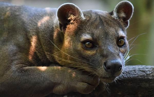 Фосса-животное-Описание-особенности-виды-образ-жизни-и-среда-обитания-фоссы-3