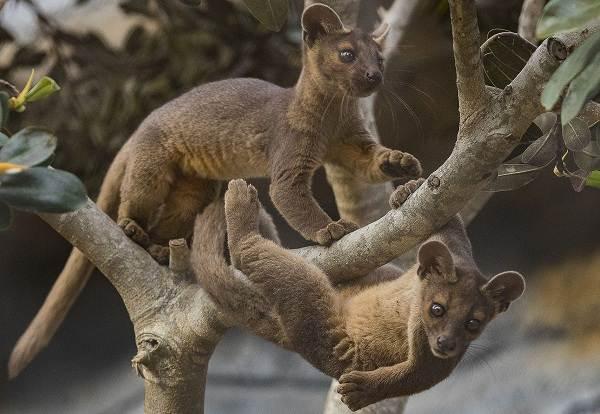 Фосса-животное-Описание-особенности-виды-образ-жизни-и-среда-обитания-фоссы-6