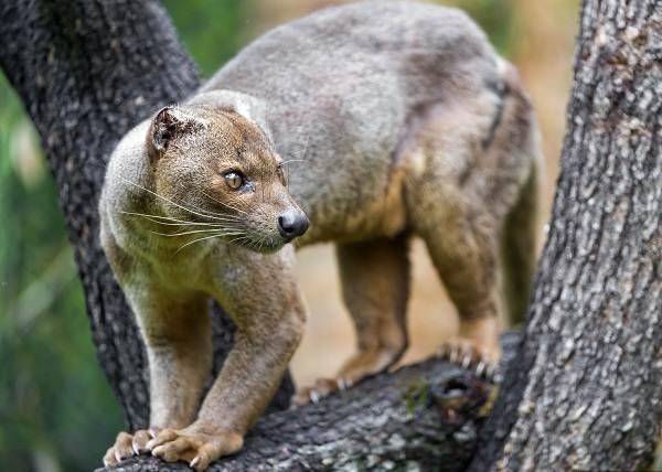Фосса-животное-Описание-особенности-виды-образ-жизни-и-среда-обитания-фоссы-7