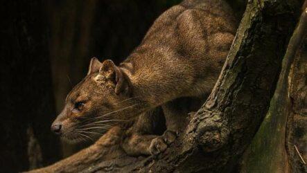 Фосса животное. Описание, особенности, виды, образ жизни и среда обитания фоссы