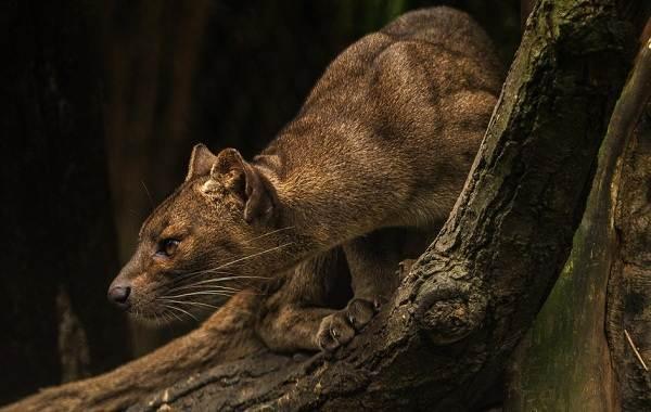 Фосса-животное-Описание-особенности-виды-образ-жизни-и-среда-обитания-фоссы-8