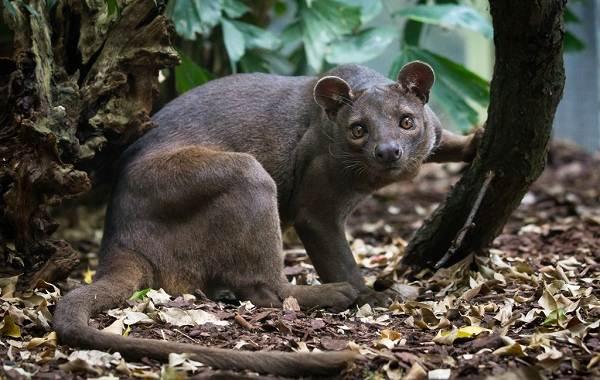 Фосса-животное-Описание-особенности-виды-образ-жизни-и-среда-обитания-фоссы-9
