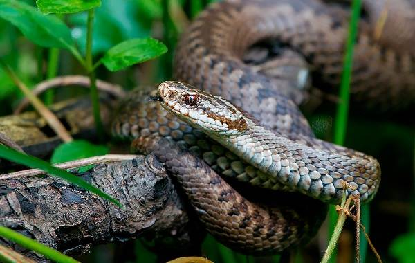 Гадюка-змея-Описание-особенности-виды-образ-жизни-и-среда-обитания-гадюки-1