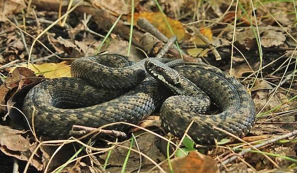 Гадюка-змея-Описание-особенности-виды-образ-жизни-и-среда-обитания-гадюки-10