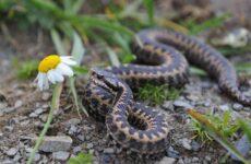 Гадюка змея. Описание, особенности, виды, образ жизни и среда обитания гадюки