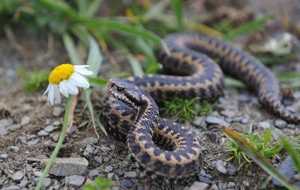 Гадюка-змея-Описание-особенности-виды-образ-жизни-и-среда-обитания-гадюки-16