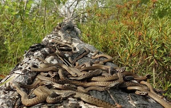 Гадюка-змея-Описание-особенности-виды-образ-жизни-и-среда-обитания-гадюки-17