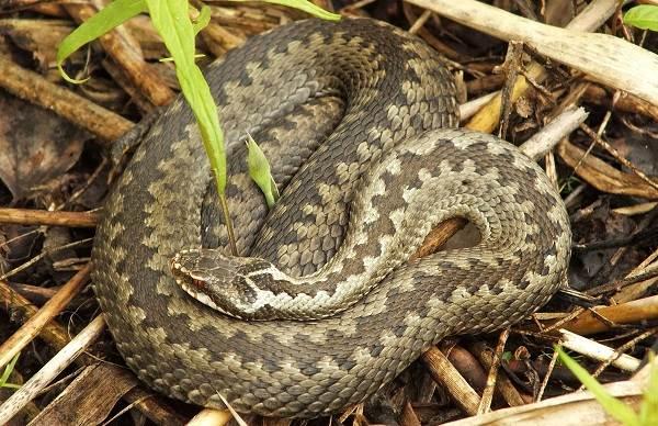 Гадюка-змея-Описание-особенности-виды-образ-жизни-и-среда-обитания-гадюки-2