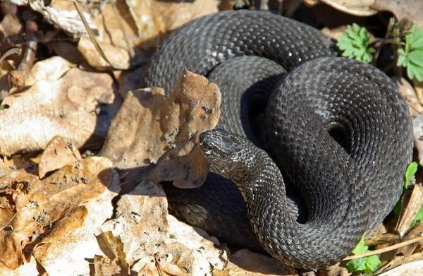 Гадюка-змея-Описание-особенности-виды-образ-жизни-и-среда-обитания-гадюки-6