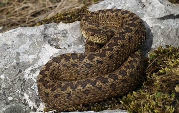 Гадюка-змея-Описание-особенности-виды-образ-жизни-и-среда-обитания-гадюки-8