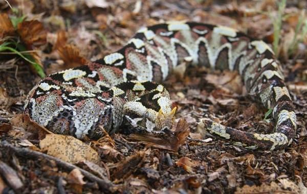 Гадюка-змея-Описание-особенности-виды-образ-жизни-и-среда-обитания-гадюки-9