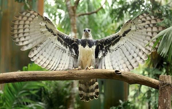 Гарпия-птица-Описание-особенности-виды-образ-жизни-и-среда-обитания-гарпии-1