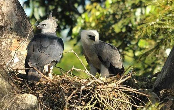 Гарпия-птица-Описание-особенности-виды-образ-жизни-и-среда-обитания-гарпии-11