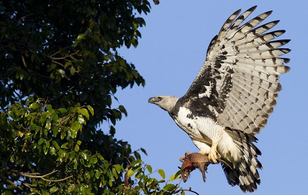 Гарпия-птица-Описание-особенности-виды-образ-жизни-и-среда-обитания-гарпии-13