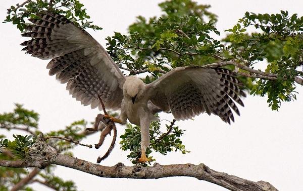 Гарпия-птица-Описание-особенности-виды-образ-жизни-и-среда-обитания-гарпии-14