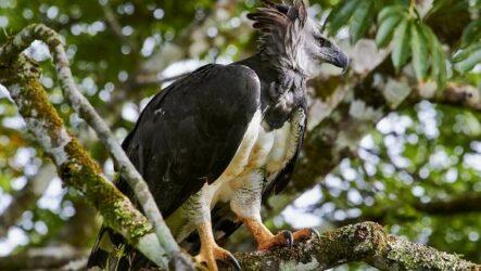Гарпия птица. Описание, особенности, виды, образ жизни и среда обитания гарпии