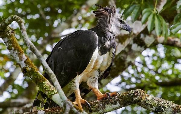 Гарпия-птица-Описание-особенности-виды-образ-жизни-и-среда-обитания-гарпии-2