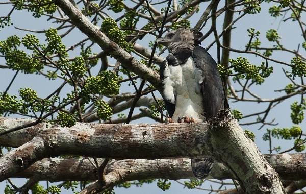 Гарпия-птица-Описание-особенности-виды-образ-жизни-и-среда-обитания-гарпии-3